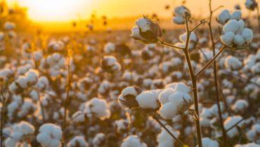 Warum ägyptische Baumwolle
